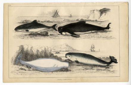 1858 Antique Print WHALE Porpoise NARWHAL Victorian Hand Colour Engr.